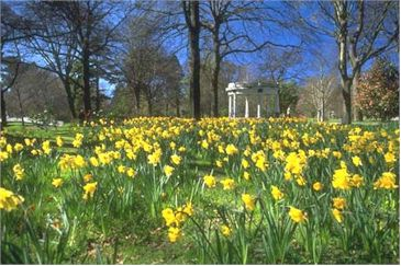 image of Daffodils in Christchurch
